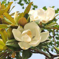 初夏に白い花が咲く木