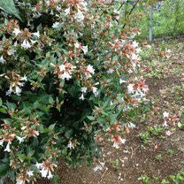 夏に白い花が咲く木