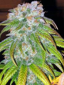 Cannabis Hanf Blüte in der Blütephase Hanfanbau mit leichten mangelerscheinungen an den Blättern