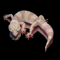 Leopardgecko 'Page' Phantom
