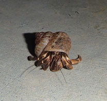 小型の貝殻に入ったオカヤドカリ