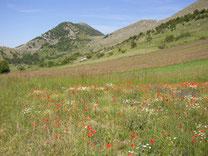 Blumenpracht auf den wenigen Feldern der Südseite des Campo Imperatore