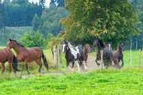 Pferde rennen über Koppel im Sommer