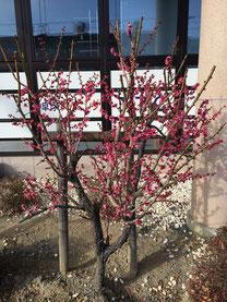 梅がきれいに咲いていますよ