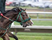 Renn-Pferd mit Nasen-Blender