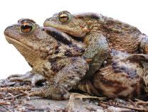 Foto: NABU / Eggers - Erdkrötenpaar