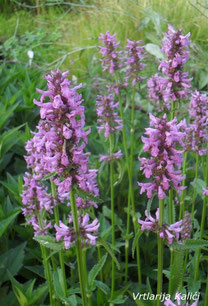Stachys officinalis (wild)
