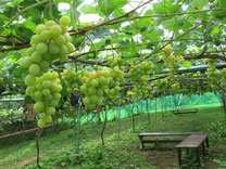 "High-quality Grapes  ""Shine Muscat"""
