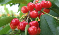 "The King Cherry ""Taisyo-Nishiki"""