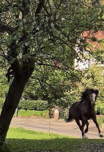 Foto: Amy, ein Welsh Cob B Pony