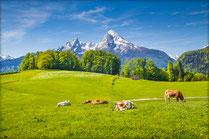 Molcare Weidekühe und Berge