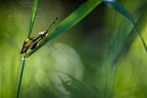 Macro photo Ascalaphe sur une herbe au lever du soleil par Guilhem MANZANO Photographe