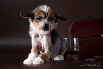 щенок китайской хохлатой голый кобель триколор