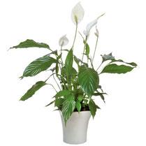Orchidée 2 branches + cache-pot = 26 € !