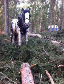 Holz rücken mit Pferden; Hochzeitskutsche in Rostock