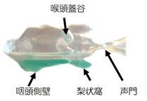 完全側臥位では、咽頭側壁から梨状窩にかて20㏄ほど貯められる。