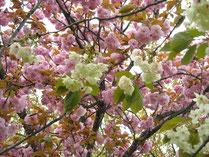 紅白桜@稲荷公園