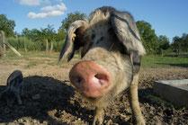 Bio Schweine Pillichsdorf