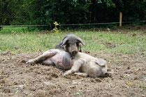Freilandschweine beim Wühlen