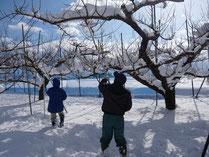 枝に溜まった雪を降ろす作業