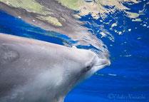 御蔵島のイルカとドルフィンスイム