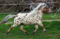 Mini spotted pony Dragonstone