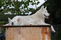 Der weisse Husky mit den zwei Köpfen? Nein, vorne Snow, hinter ihm Blizzard, auf ihrem Ausguck im Huskydörfli