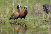 Dendrocygne veuf oiseau Sénégal Afrique Stage Photo J-M Lecat Non libre de droits