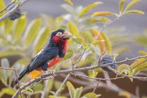 Barbican à poitrine rouge oiseau Sénégal Afrique Stage Photo J-M Lecat Non libre de droits