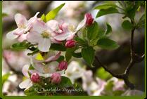 Charlotte Deppisch: Foto Apfelblüte 2