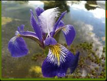 Charlotte Deppisch: Foto Wasserlilie 2