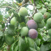 Plums ripening on a tree