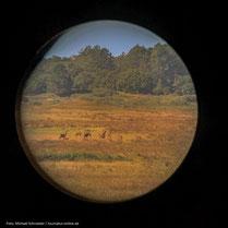 Foto durch das Spektiv: Hirschrudel