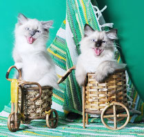На фото: Кэсси и Кэрри Кошка Моего Сердца