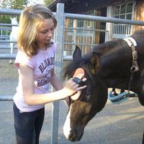 Julia putzt ihren Ponywallach Vigo, der diese Zuwendung sichtlich genießt.