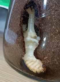 カブトムシの蛹。