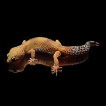 Leopardgecko 'Leave' Super Hypo Tangerine