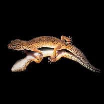 Leopardgecko 'Akasha' Extreme Tangerine