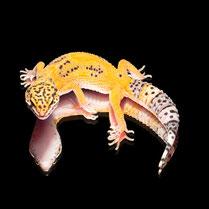 Leopardgecko 'Zazou' Extreme Tangerine