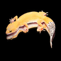 Leopardgecko 'Zoé' Super Hypo Tangerine