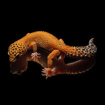 Leopardgecko 'Ruby' Electric Tangerine