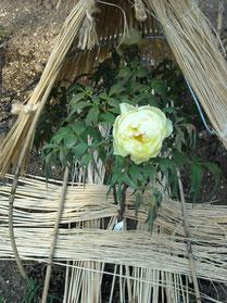 ぼたん園の牡丹④