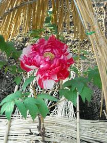 ぼたん園の牡丹②