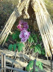 ぼたん園の牡丹⑤