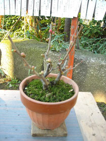 その横にあった梅の盆栽