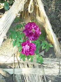 ぼたん園の牡丹⑥