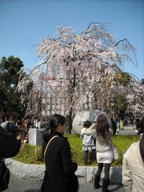 枝垂桜@上野公園