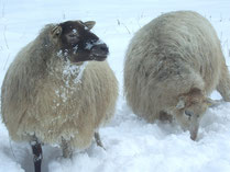 Schafe im Ölfer Bachtal