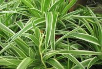 Le chlorophytum - Classement des 10 plantes les plus résistantes par Garden & the City