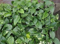Le scindapsus - Classement des 10 plantes les plus résistantes par Garden & the City